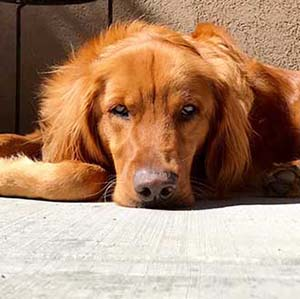 Golden Retriever Rescue Of The Rockies | Grrr Colorado
